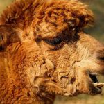 Tips for Breeding with Alpacas in the US