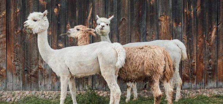 Designing a Farm for Alpacas