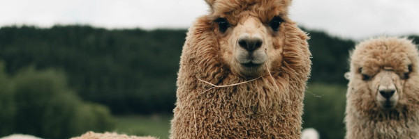 alpacaposts11 - Tips for Breeding with Alpacas in the US