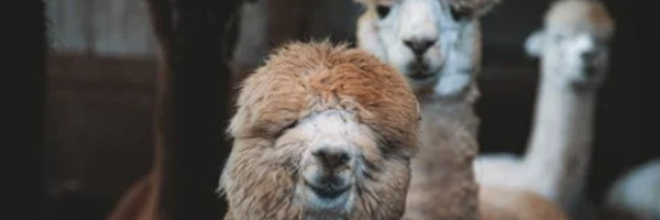alpacaposts12 - Tips for Breeding with Alpacas in the US