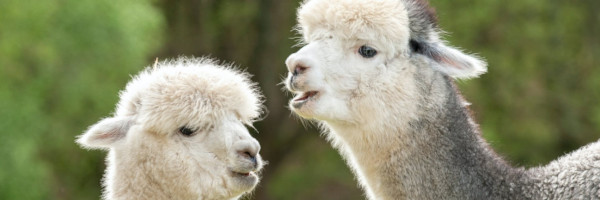 alpacaposts13 - Tips for Breeding with Alpacas in the US
