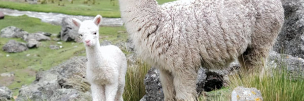 alpacaposts14 - Tips for Breeding with Alpacas in the US