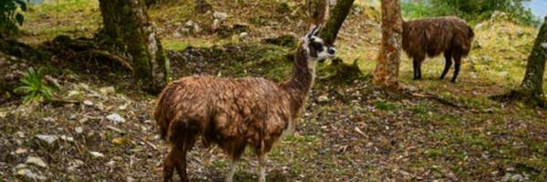 alpacaposts15 - Designing a Farm for Alpacas