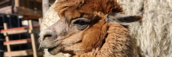 alpacaposts16 - Designing a Farm for Alpacas