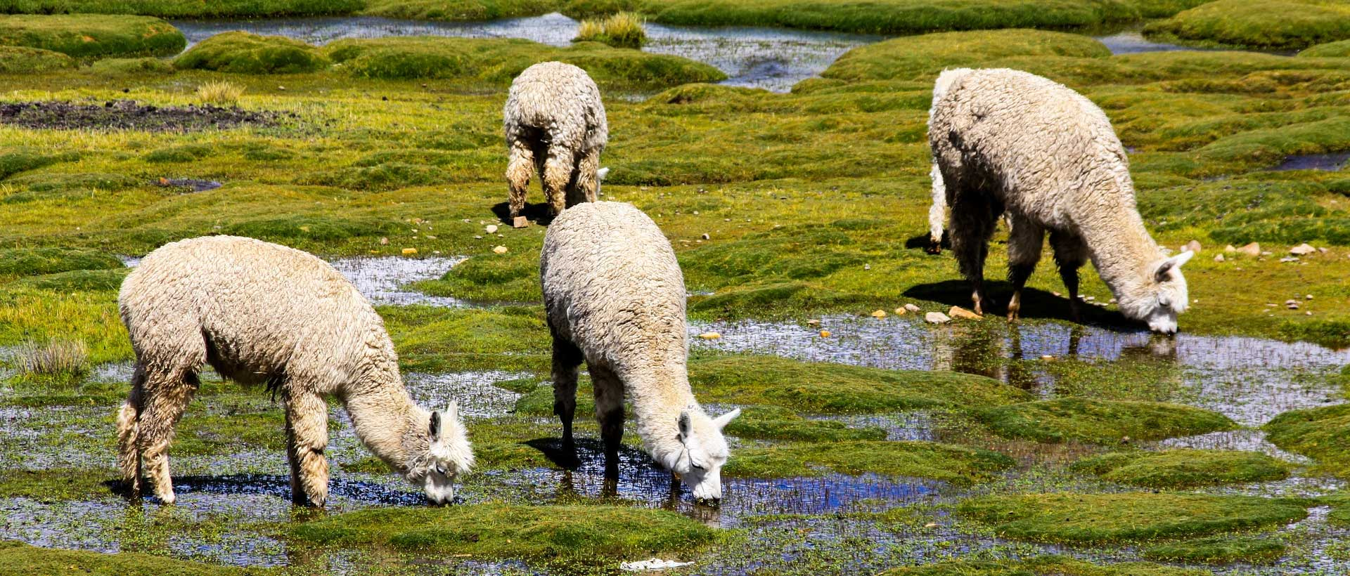 Alpaca farms